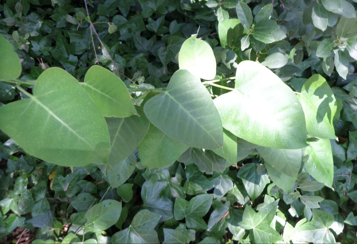 Flora del Parc de les Aigües (5): Enredaderas y trepadoras.