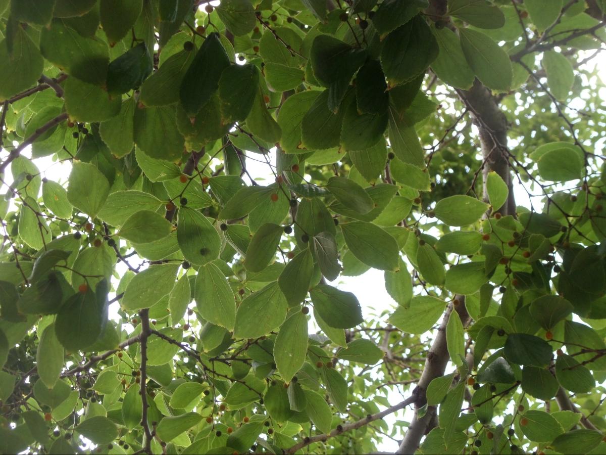 Almez de la China (Celtis sinensis)