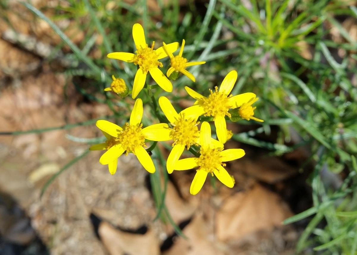 Senecio (Senecio lineatus)