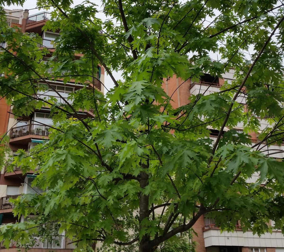 "Arce plateado (""Acer saccharinum"")"
