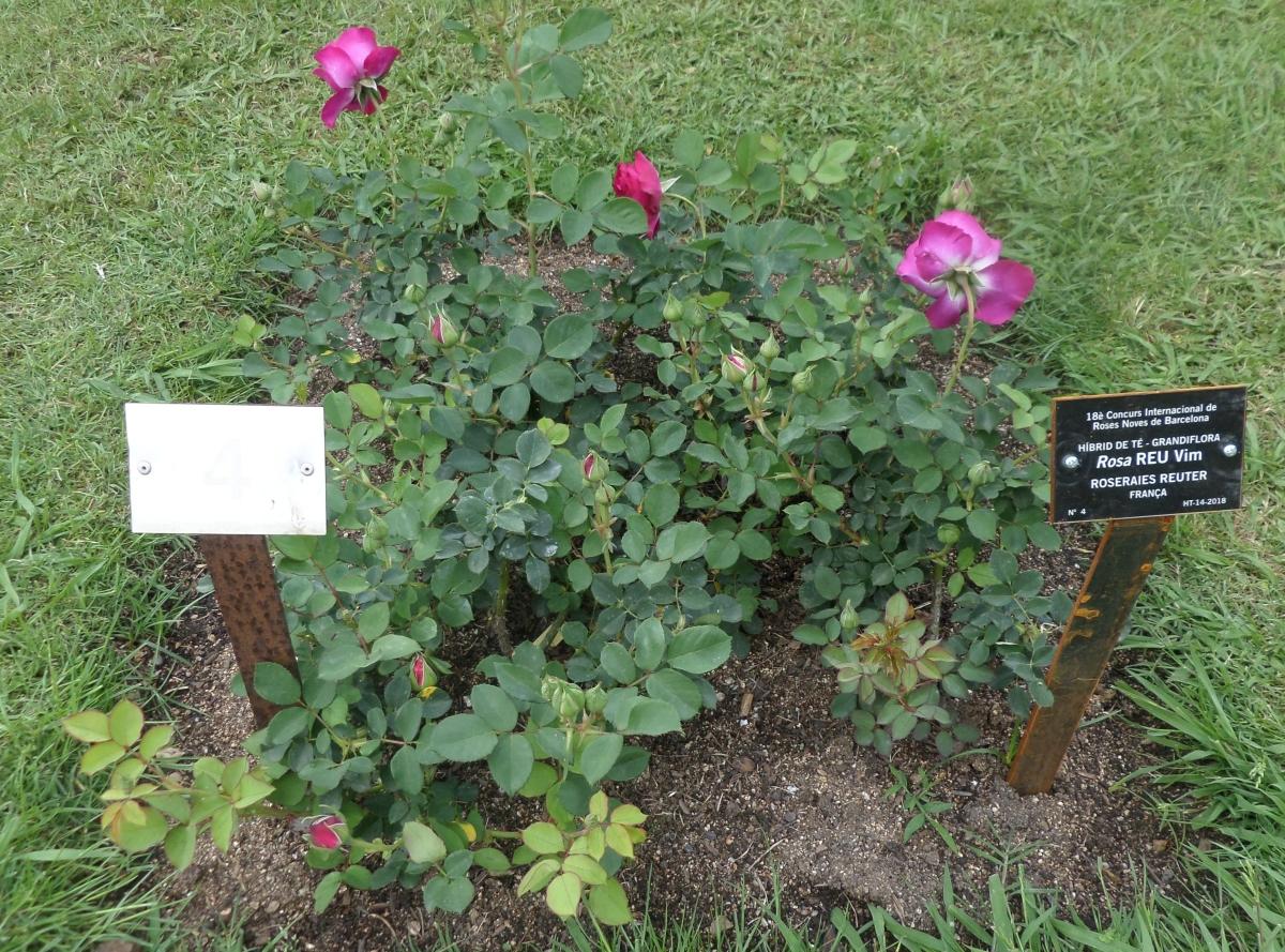 """Galería fotográfica de las rosas del """"18º Concurso Internacional de Rosas Nuevas"""" del Roserar del Parc Cervantes."""