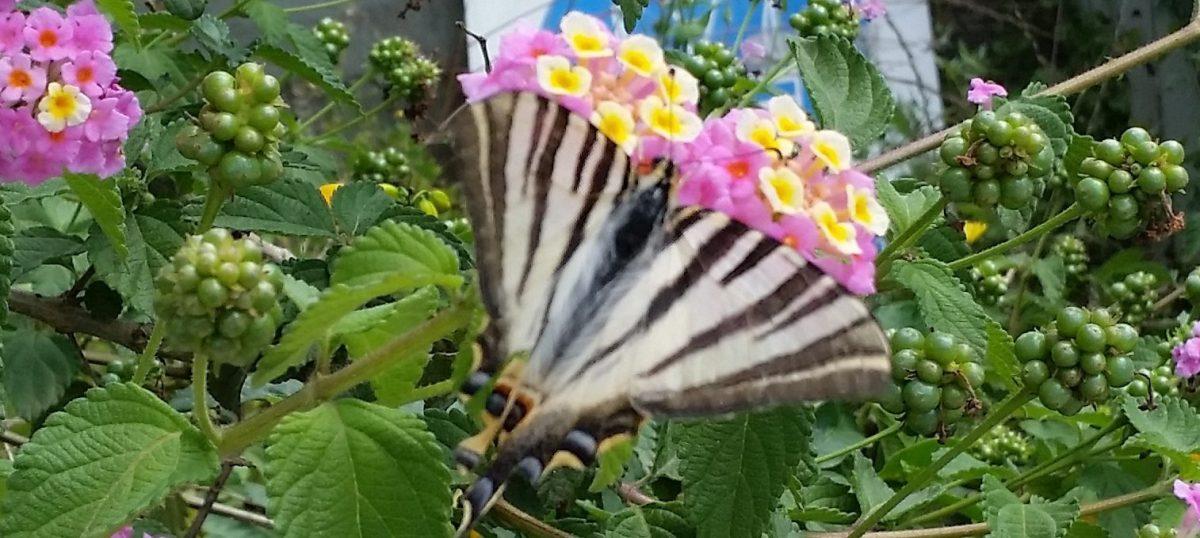 Mariposas 3: Podalirio ibérica (Iphiclides feisthamelii)