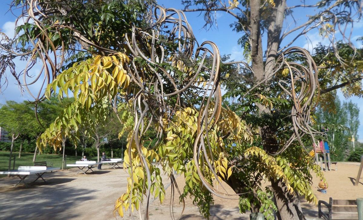 Algunos árboles interesantes del Parc de Cervantes (1): Por su rareza y peculiaridades - Radermachera sinica -
