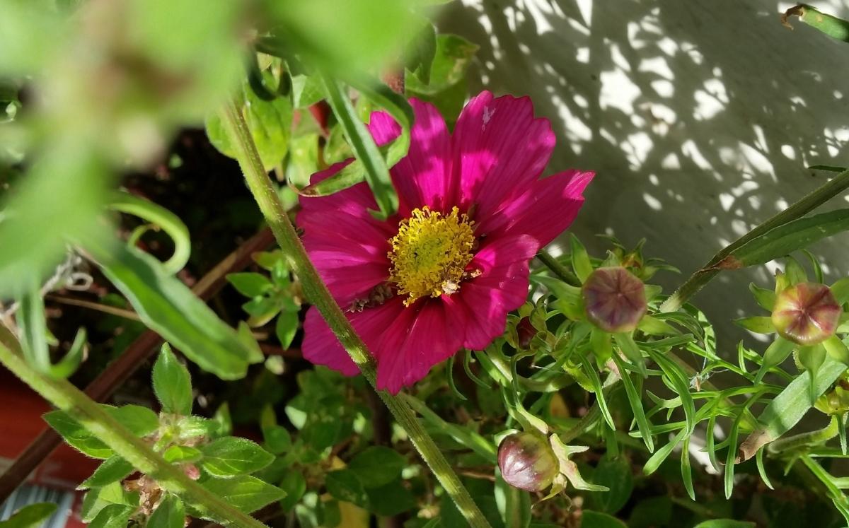 """Una planta curiosa encontrada como """"mala hierba"""": Cosmos bipinnatus"""
