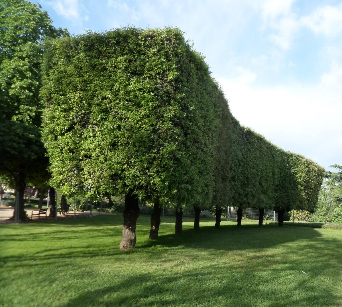 Algunos árboles interesantes del Parc de Cervantes (2): Por su porte y poda.