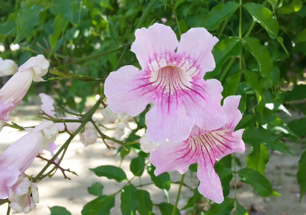 Arbusto de Pandora (Podranea ricasoliana), una preciosa planta trepadora.