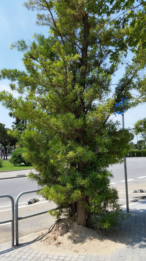 Podocarpus neriifolius