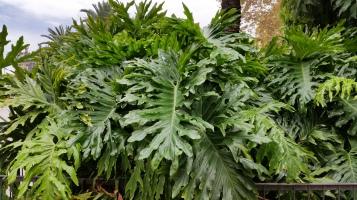 Philodendron bipinnatifidum