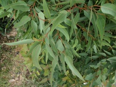 Corymbia eximia 'Nana'