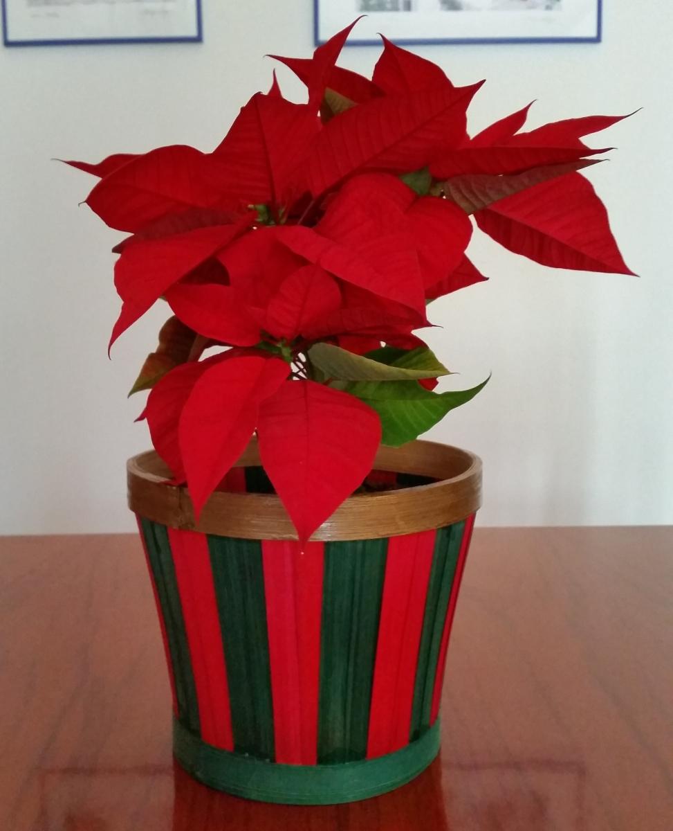 Especial Navidad: Poinsetia (Euphorbia pulcherrima), la planta de estas fiestas!