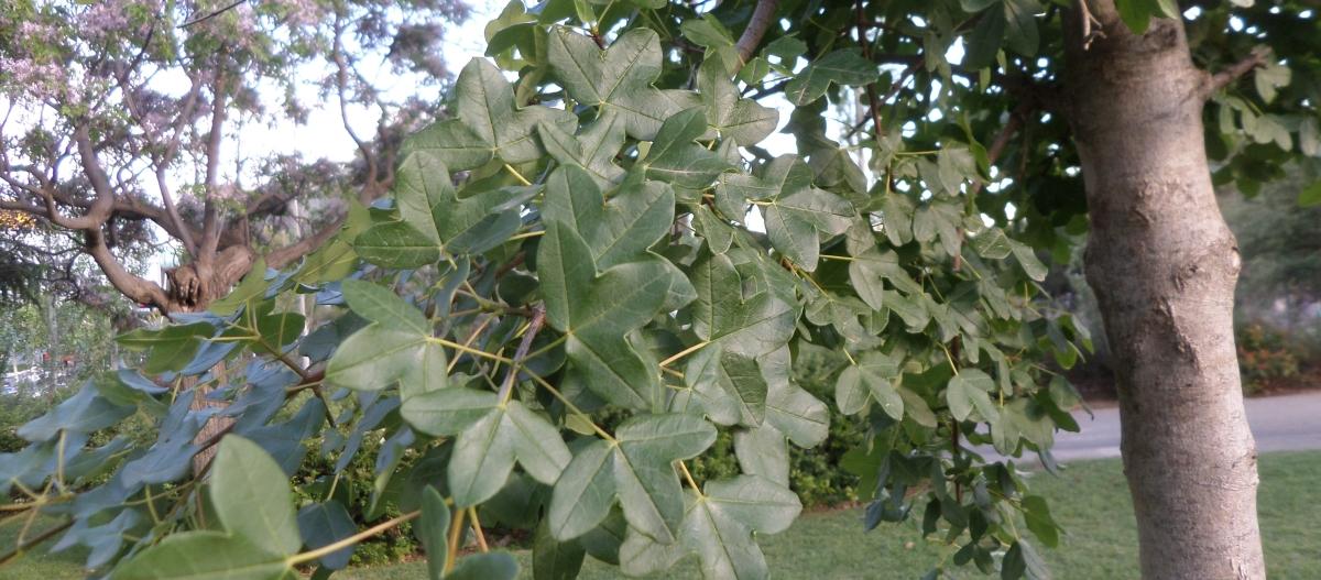 Algunos árboles interesantes del Parc de Cervantes (4): Por ser autóctonos 2. Arce de Montpellier (Acer monspessulanum).