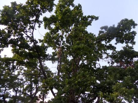 Quercus humilis