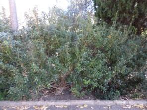 Pittosporum x pourtetianum