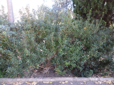Pittosporum x pourtetianum