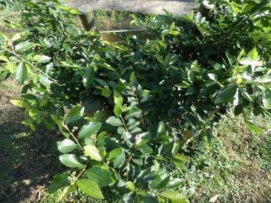 Grewia occidentalis