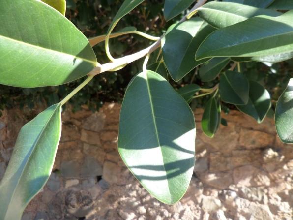 Ficus rubiginosa