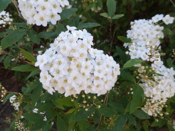 Spiraea cantonensis