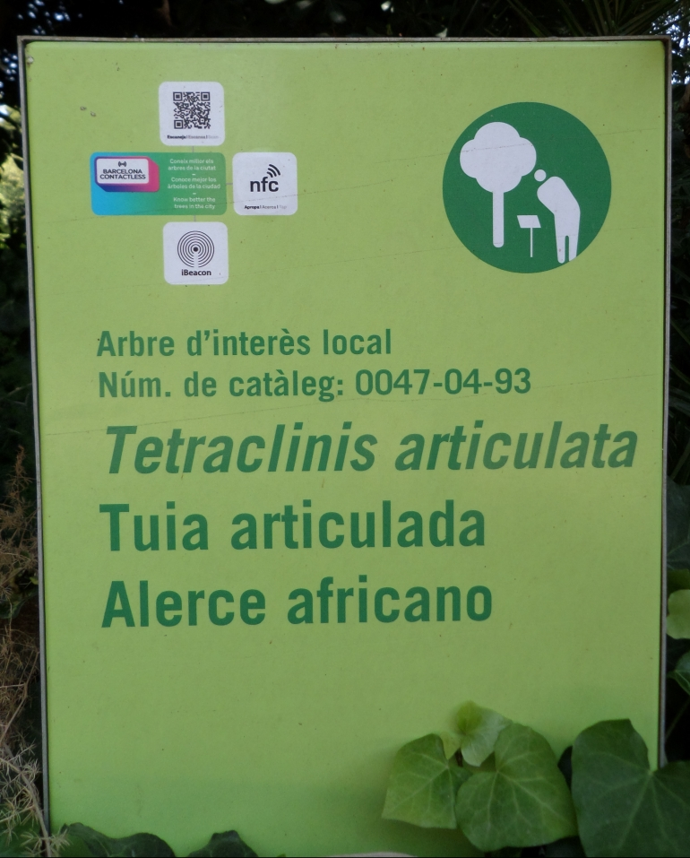 Tetraclinis articulata