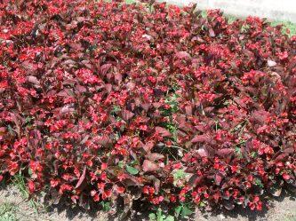 Begonia sempervirens