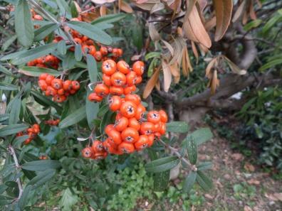 Pyracantha angustifolia