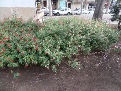 Salvia microphylla 'Hot Lips'
