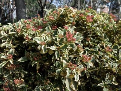 Viburnum tinus 'Variegatum'